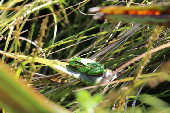 a green and golden bell frog sunbathing among the carex in our suburban backyard